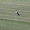 Peregrine Falcon <br /> Keetmen Sod Farm
