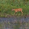 Whitetail Deer <br /> B.K. Leach CA