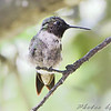 Ruby-throated Hummingbird <br /> City of Bridgeton <br /> St. Louis County, Missouri <br /> 2009-08-13