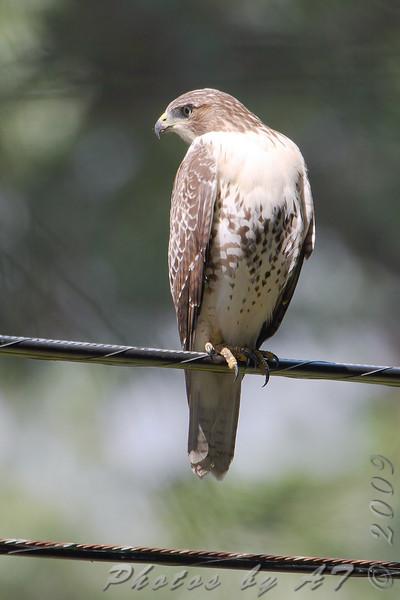 Red-tailed Hawk <br /> City of Bridgeton <br /> St. Louis County, Missouri <br /> 2009-08-13