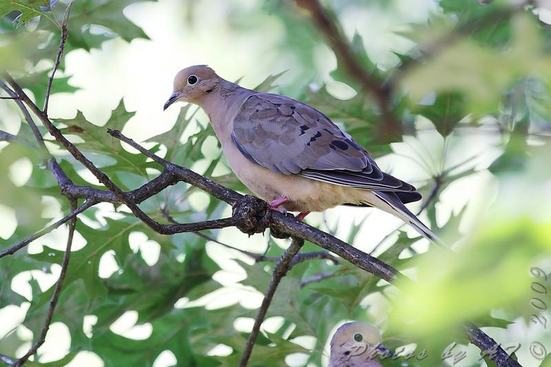 Mourning Dove <br /> City of Bridgeton <br /> St. Louis County, Missouri <br /> 2009-08-25