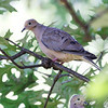 Mourning Dove <br /> City of Bridgeton <br /> St. Louis County, Missouri <br /> 2009-08-25