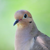 Mourning Dove <br /> City of Bridgeton <br /> St. Louis County, Missouri <br /> 2009-08-13