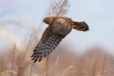 Northern Harrier  Riverlands Migratory Bird Sanctuary