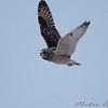 Short-eared Owl <br /> McComas Lane off hwy J <br /> Clinton County Mo.