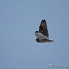 Short-eared Owl <br /> McComas Lane off hwy J <br /> Clinton County Mo.