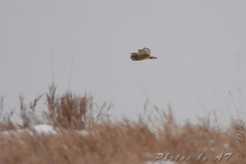 Short-eared Owl <br /> McComas Lane off hwy J <br /> Clinton County Mo. <br /> 2009-12-12<br /> <br /> No. 274 on my Lifetime List of Bird Species <br /> Photographed in Missouri