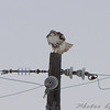 Red-tailed Hawk <br /> McComas Lane off hwy J <br /> Clinton County Mo.