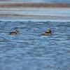 female Hooded Mergansers <br /> Riverlands Migratory Bird Sanctuary