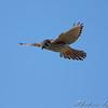 American Kestrel <br /> Riverlands Migratory Bird Sanctuary