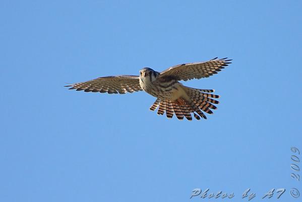 American Kestrel  Riverlands Migratory Bird Sanctuary