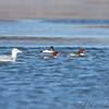 Common Goldeneye, female Common Mergansers <br /> and Herring Gull <br /> Riverlands Migratory Bird Sanctuary