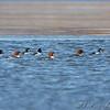 Common Goldeneye and female Common Mergansers <br /> Riverlands Migratory Bird Sanctuary