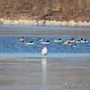 Common Goldeneye and Common Mergansers <br /> Riverlands Migratory Bird Sanctuary