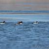 Common Goldeneye and female Common Merganser <br /> Riverlands Migratory Bird Sanctuary