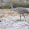 Juvenile Sandhill Crane <br /> Howell Island Conservation Area Access