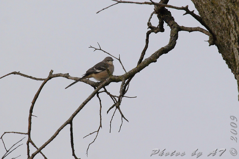 Northern Mockingbird<br /> Hwy K and 64 St. Charles Co.
