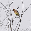 Cedar Waxwing <br /> Hwy K and 64 St. Charles Co.