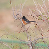 Eastern Towhee <br /> Hwy K and 64 St. Charles Co.