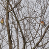 Cedar Waxwing and Eastern Bluebird <br /> Hwy K and 64 St. Charles Co.