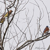 Cedar Waxwings and Eastern Bluebird <br /> Hwy K and 64 St. Charles Co.