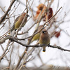 Cedar Waxwings <br /> Hwy K and 64 St. Charles Co.