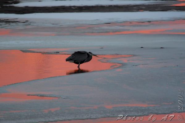 Great Blue Heron  Ellis Bay  Riverlands Migratory Bird Sanctuary