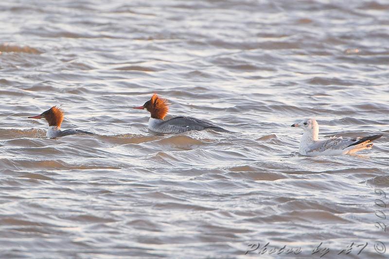 Common Merganser <br /> Riverlands Migratory Bird Sanctuary
