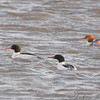 Common Mergansers <br /> Riverlands Migratory Bird Sanctuary