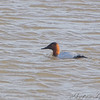 Canvasback <br /> Riverlands Migratory Bird Sanctuary