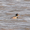 Red-breasted Merganser <br /> Riverlands Migratory Bird Sanctuary
