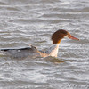 Common Merganser <br /> Riverlands Migratory Bird Sanctuary
