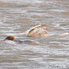 Dive! Dive! <br /> Common Merganser <br /> Riverlands Migratory Bird Sanctuary