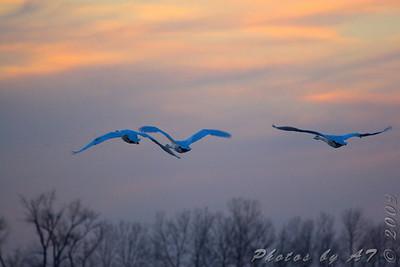Trumpeter Swan leaving Teal Pond  Riverlands Migratory Bird Sanctuary