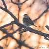 Savannah Sparrow <br /> Red School Road