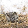 Savannah Sparrow <br /> Riverlands Migratory Bird Sanctuary