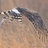 <>Northern Harrier <br /> Riverlands Migratory Bird Sanctuary