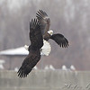 Bald Eagles   <br /> Below Melvin Price Dam <br /> Riverlands Migratory Bird Sanctuary