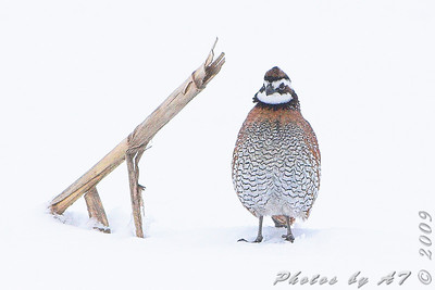 Northern Bobwhite in the snow Red School Road just south of  Riverlands Migratory Bird Sanctuary  West Alton, Missouri