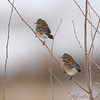 American Tree Sparrows <br /> Red School Road