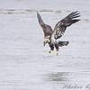 Bald Eagle  <br /> Below Melvin Price Dam <br /> Riverlands Migratory Bird Sanctuary