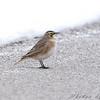 Horned Lark <br /> Riverlands Migratory Bird Sanctuary