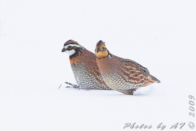 Northern Bobwhite  Red School Road