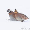 Northern Bobwhite <br /> Red School Road