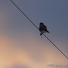 American Kestrel <br /> Red School Road