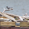 Least Terns (three) Black Tern (one) Decoys (three) <br /> Two right of center looks like in courtship display.<br /> Experimental Least Tern Nesting Barge <br /> Riverlands Migratory Bird Sanctuary