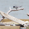 Least Terns and Black Tern <br /> Experimental Least Tern Nesting Barge <br /> Riverlands Migratory Bird Sanctuary