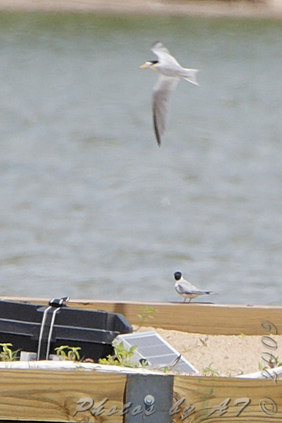 Least Terns <br /> Experimental Least Tern Nesting Barge <br /> Riverlands Migratory Bird Sanctuary