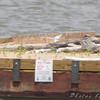 Least Terns <br /> Experimental Least Tern Nesting Barge <br /> Riverlands Migratory Bird Sanctuary