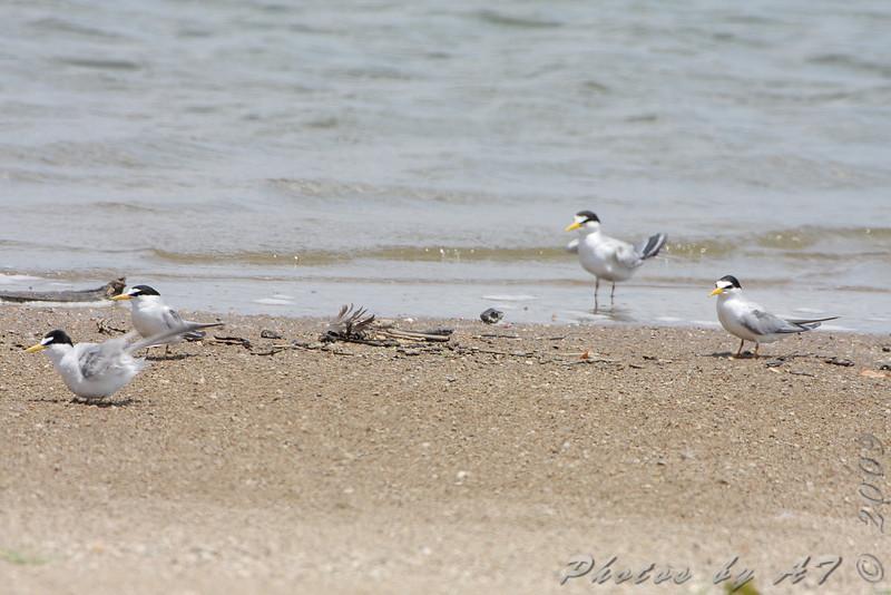 Least Terns <br /> Riverlands Migratory Bird Sanctuary